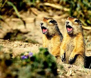 Prairy dogs sing