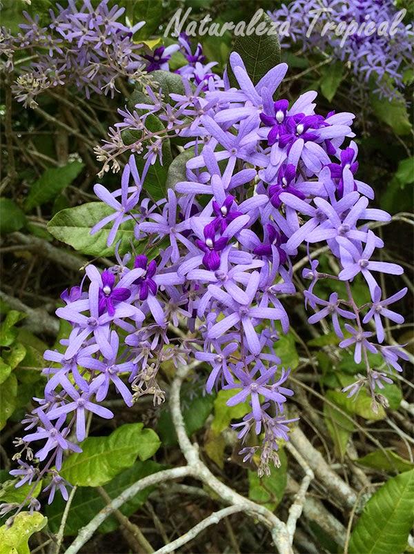 Petra volubilis, racimo de sus flores