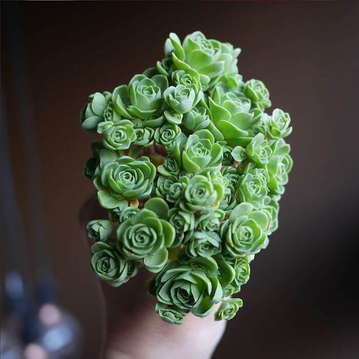 Rose Succulents Exist, And They Look Like They Came From A Fairytale