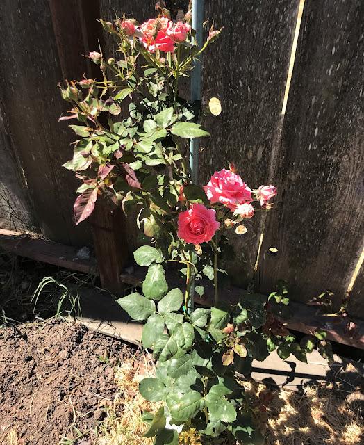 climbing rose, America, Bill Warriner, truskot