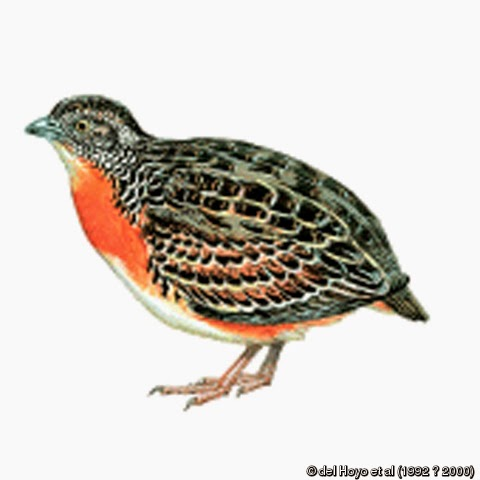 Sumba Buttonquail