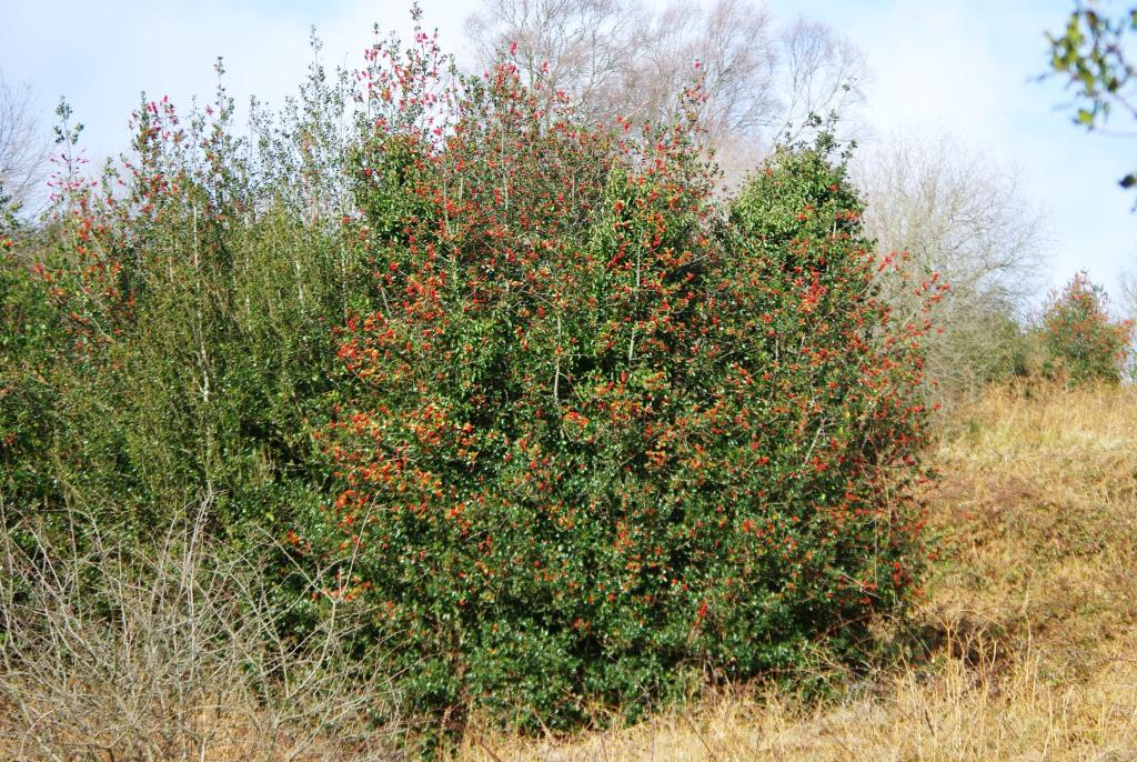Imagen de uno de los acebos que sombrean las praderías de Marabio
