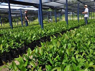 Agricultores recebem mais de 10,5 mil mudas de cajueiro para expansão na PB