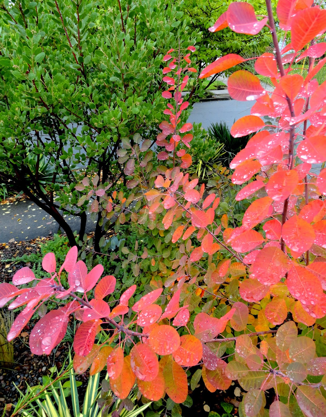 Danger Garden Cotinus Coggygria Royal Purple Is My Favorite Plant In The Garden This Week
