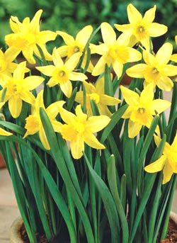 Five easy winter flower bulbs for your gardenGreenside Up Daffodil February Gold