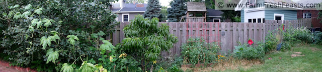 a panoramic photo of squash vine climbing a tree, a peach tree, raised beds and a compost bin