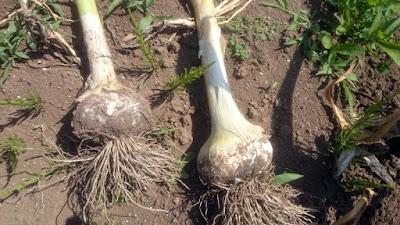 こちらのニンニクもほんの少し収穫には早い状態