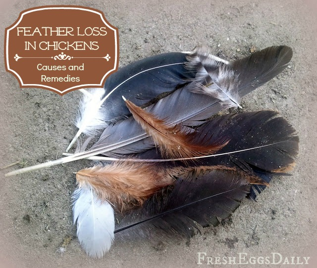 Feather Loss In Chickens Causes And Prevention Methods Fresh