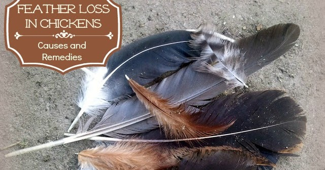 feather loss in chickens