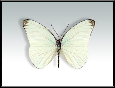 Mariposa lechera grande Glutophrissa drusilla