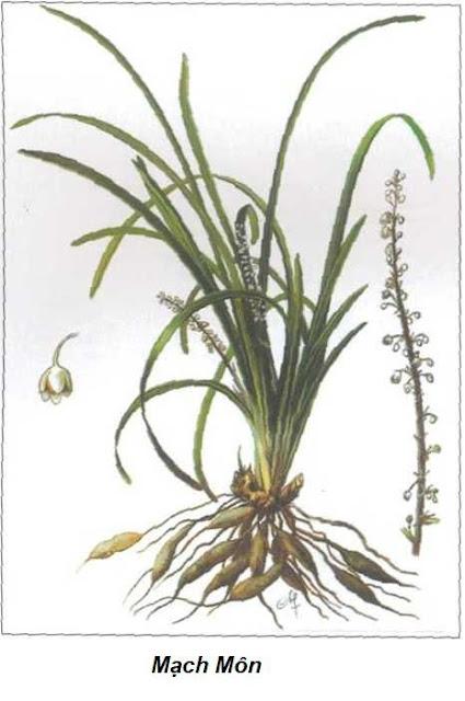Mạch môn đông- Ophiopogon japonicus - Nguyên liệu làm thuốc Chữa Ho Hen
