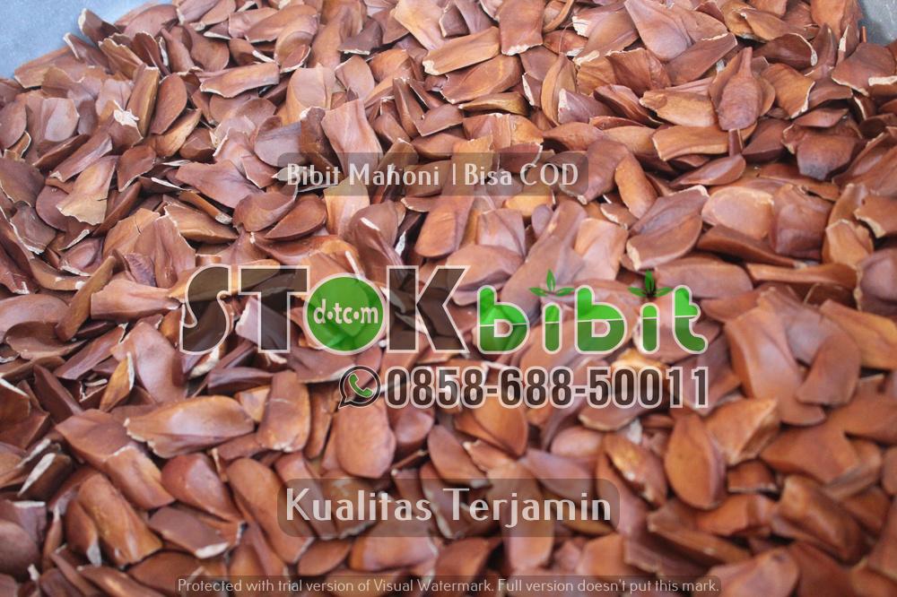 Seedling jeruk      Unggul     Berkwalitas