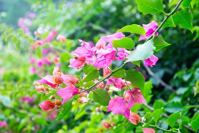 manfaat tanaman hias bougenville bunga kertas