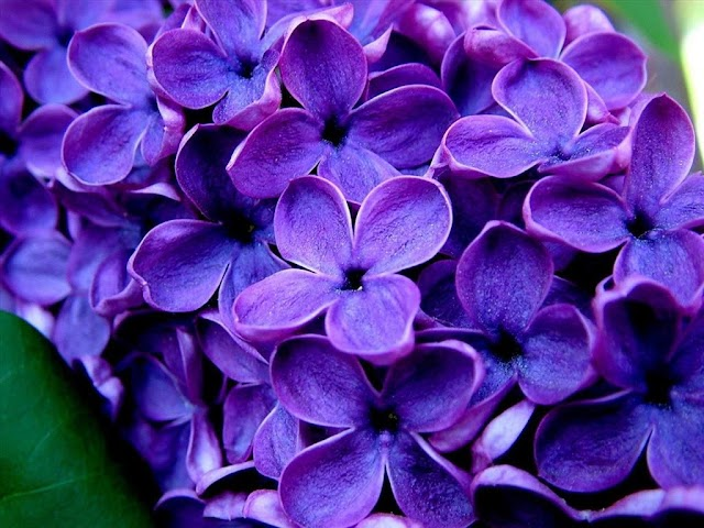 40 ảnh hoa lan tím đẹp, ý nghĩa phong lan tím