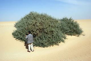 Astagfirullah! Inilah Penampakan Pohon Garqad Asli, Pohon Yang Akan Melindungi Yahudi