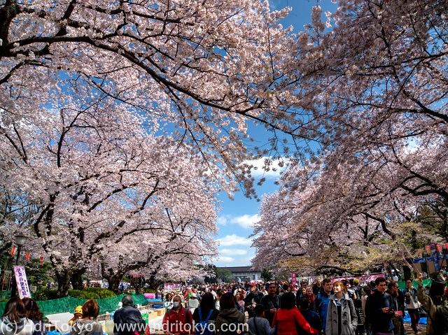 cherry blossoms at Ueno-park. many people view the blossoms.