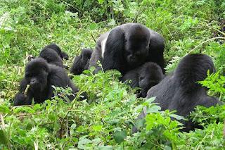 "The 6 days Rwanda gorilla safari includes gorillas, cultural encounters, Recreation, Chimpanzee trekking and canopy walk in Nyungwe forest. You will encounter"" />"