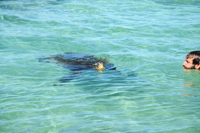 Carlsmith Beach Park, Hilo, Big Island, Hawaii - Turtle