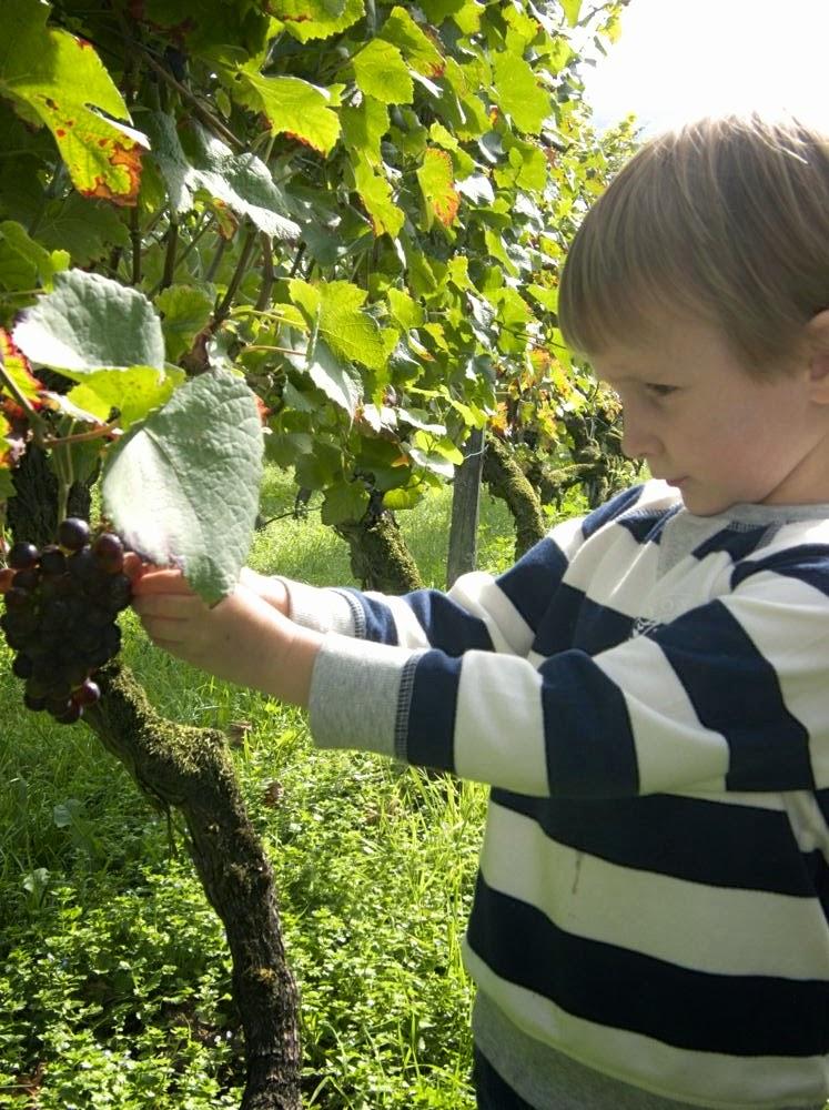 Kind am Weinstock, Kinderhände an Weinrebe