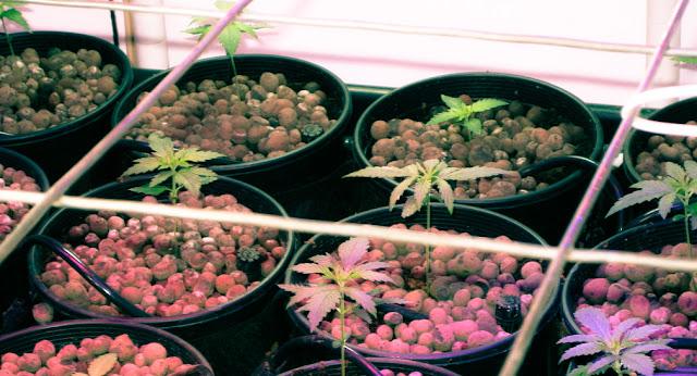 come-realizzare-scrog-coltivazione-cannabis