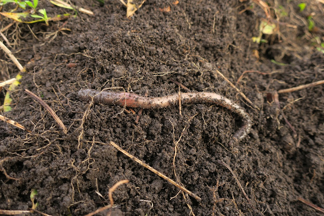 Earthworm on surface of soil