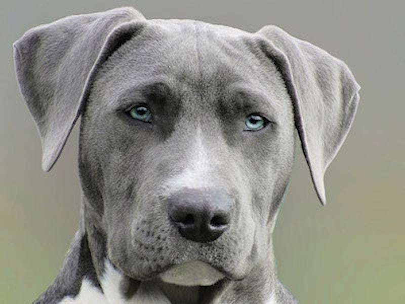 breed specific legislation pit bull