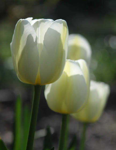 white tulips, spring flowers, Anne Butera, My Giant Strawberry