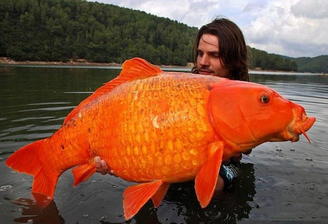 Foto ikan mas seberat 33 Pound di Prancis