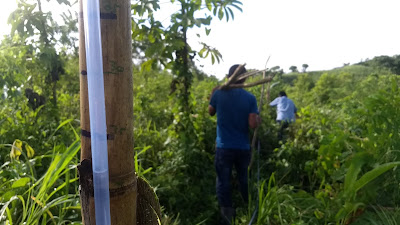 Bamboo contour lines livingston, guatemala agroforestry, erosion control, water bunyip level