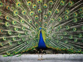 Catatan Engz 10 Gambar  Burung  Merak  Indah dan  Cantik