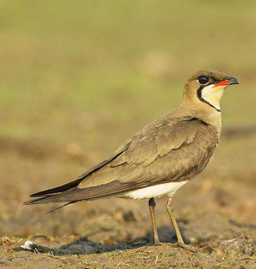 Indian birds - Picture of Oriental pratincole - Glareola maldivarum
