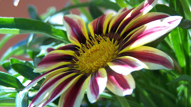 Gazania 'Big Kiss White Flame'