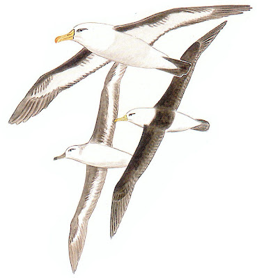 aves en peligro de Argentina Albatros ceja negra Thalassarche melanophris