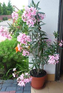 jak rozmnażać oleander
