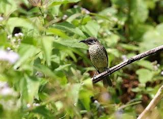 Burung Isap Madu Anis