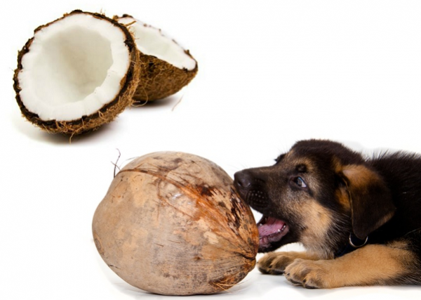 Coconut Oil For Dogs Eyes