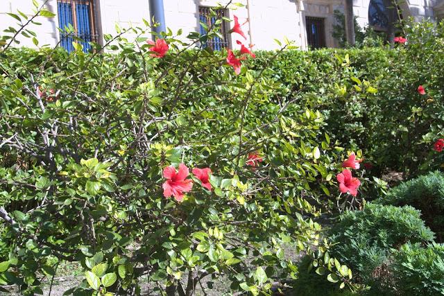 kwitnący hibiskus, Costa del Sol