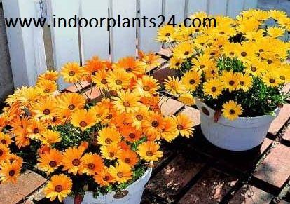 Dimorphotheca Sinuata plant photo