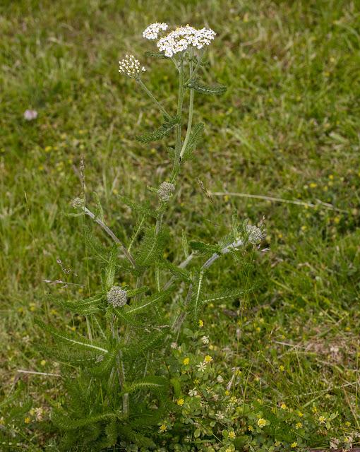 Yarrow, Achillea millefolium.   Luxford Lane, Crowborough,13 June 2017.