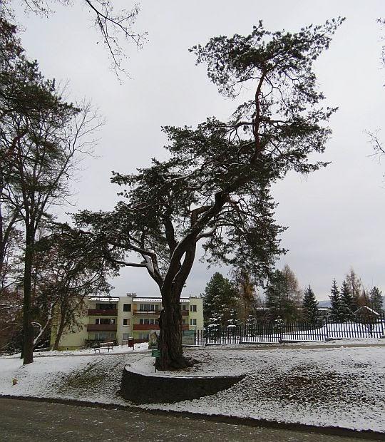 Sosna zwyczajna (Pinus sylvestris).