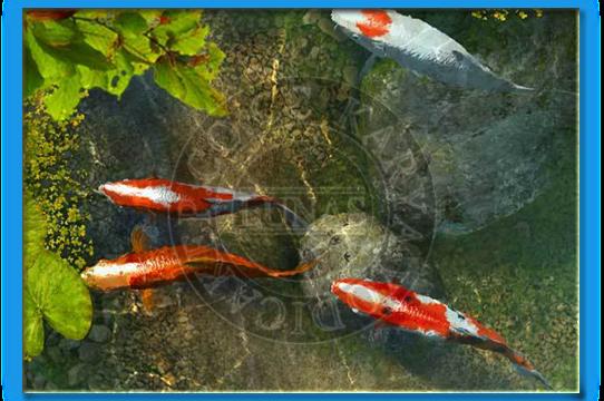 3planesoft koi fish 3d screensaver v2 0 build 6 20mb for Koi pond screensaver