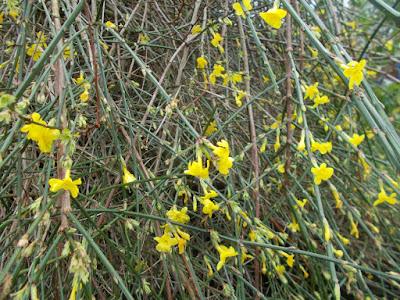 Winter jasmine Plants flowering in winter weird weather Green Fingered Blog