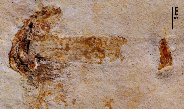 World's Oldest Fossilized Mushroom Sprouted 115 Million Years Ago
