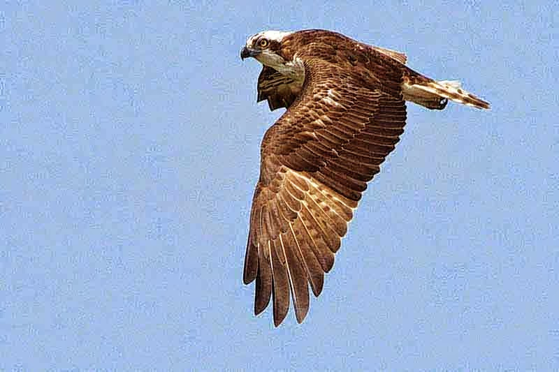 fish hawk, osprey, bird, flying