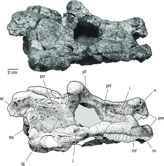 Bunostegos akokanensis - Crânio