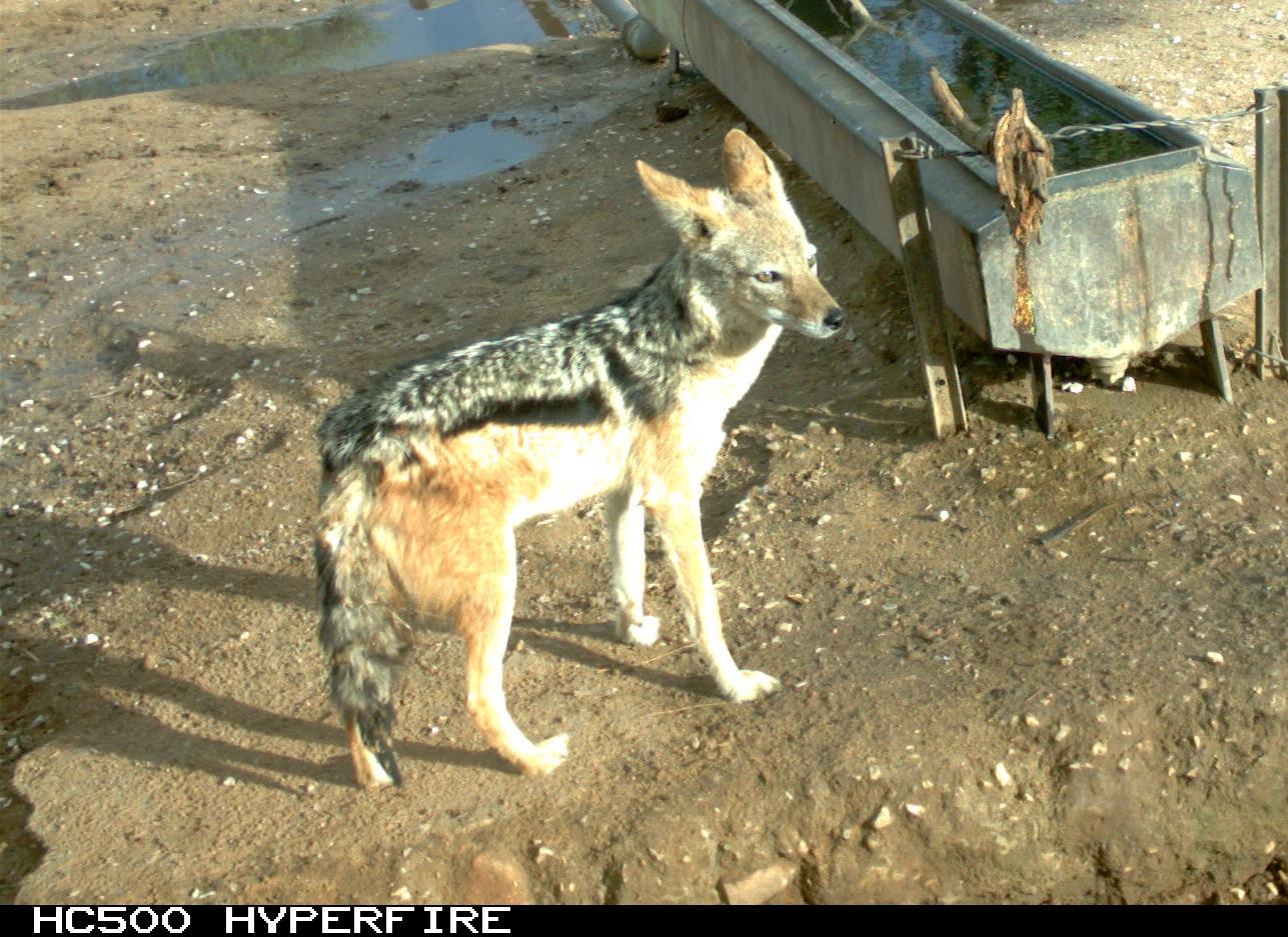 """Cheetah Conservation Fund Blog - """"J"""" is for Jackal"""