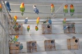 Gambar ternak lovebird