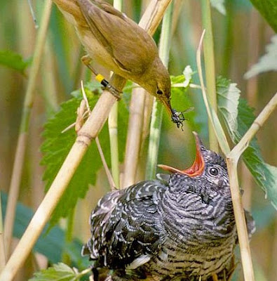 Burung Cuculidae