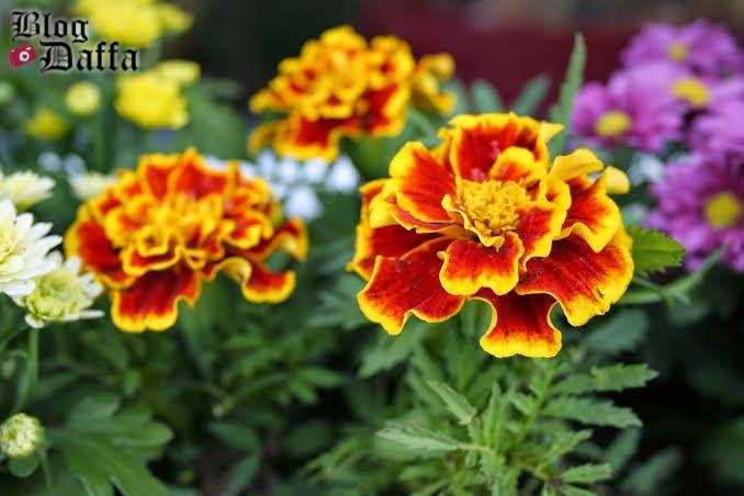 Cara menanam dan merawat bunga marigold dengan mudah.