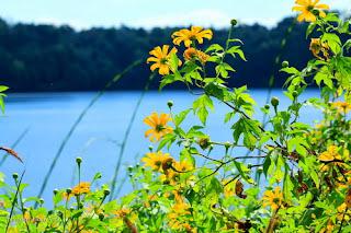 Hoa vàng Pleiku